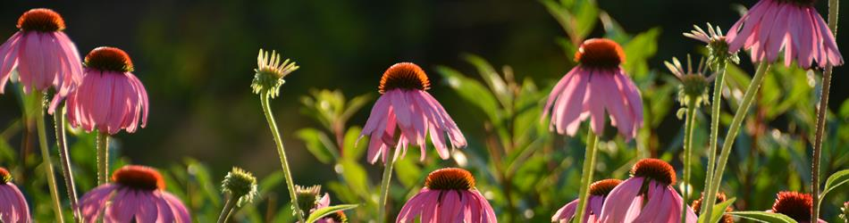 PurpleConeflower_NativeWildflower.JPG