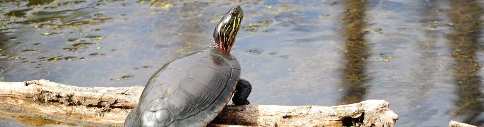 A photograph of a painted turtle  on a log.