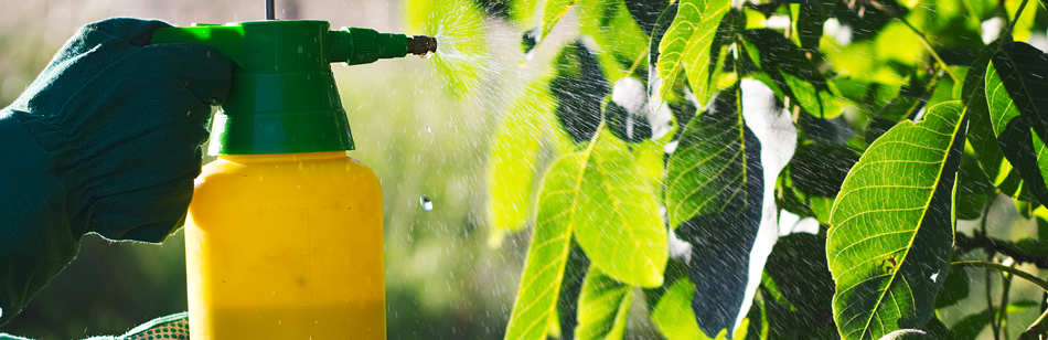 A picture of hands, covered with gloves, using a spray bottles to spray pesticides on tree leaves.