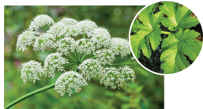 cow-parsnip.png