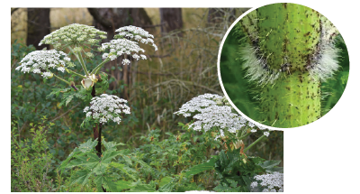 A photograph of giant hogweed with a close-up of the stem.