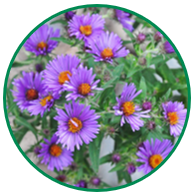 New England Aster wildflowers