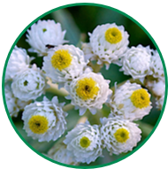A close-up of a pearly everlasting wildflower. White petals with a yellow centre.