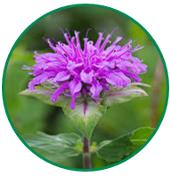 A close-up of the wild bergamot flower with purple petals.