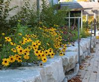 A photo of a rain garden featuring black eyed susan flowers.